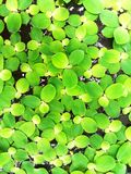Viele Grünblätter, die auf das Wasser schwimmen Lizenzfreies Stockbild
