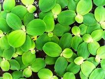Viele Grünblätter oder -blumen, die auf das Wasser schwimmen Stockfotografie