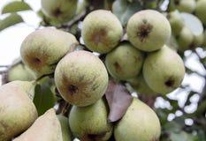 Viele grünen Birnen auf einem Baum Lizenzfreies Stockfoto
