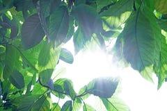 Viele grünen Blätter lokalisiert auf weißem Hintergrund Pisonia grandis Tageslicht lizenzfreie stockbilder