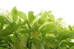 Viele gr?nen Bl?tter lokalisiert auf wei?em Hintergrund Weicher Fokus Pisonia grandis lizenzfreies stockfoto
