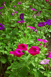 Viele hellen schönen bunten Petunienblumen Lizenzfreies Stockfoto