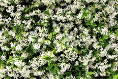 Viele Jasminblumen Stockfotos