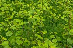 Viele junger grüner Japaner knotweed Anlagen im Gras - Fallopia-japonica Lizenzfreie Stockfotografie
