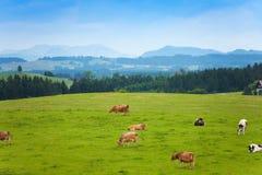 Viele Kühe auf der Weide Lizenzfreies Stockbild