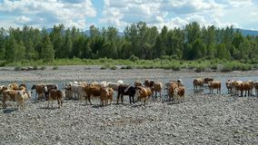 Viele Kühe, die im kleinen Fluss stehen stock footage