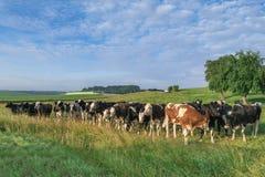 Viele Kühe zusammen auf einer grünen Wiese und einem blauen Himmel Lizenzfreie Stockfotos
