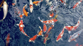 Viele Karpfenfische lizenzfreie stockbilder