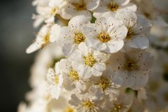 Viele Kirschblumen im Makro Lizenzfreie Stockbilder