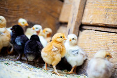 Viele kleinen bunten Hühner stockfotografie
