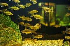 Viele kleinen Fische im Aquarium lizenzfreies stockfoto