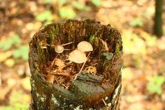 Viele kleinen Pilze auf einer Baumstumpfnahaufnahme Stockbilder
