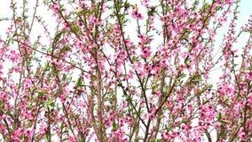Viele kleinen rosa Blumen auf den Niederlassungen des Baums Pfirsich-Blumen stock footage