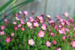 Viele kleinen rosafarbenen Blumen mit Mitte im Fokus Lizenzfreie Stockfotos