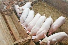 Viele kleinen Schweine Lizenzfreie Stockfotografie