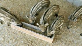 Viele kleinen Schweine mit der gestreiften Farbe, freundlich essend von einer Abflussrinne auf ländlichem Bauernhof stock footage
