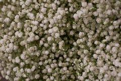 Viele kleinen weißen Blumen Sisyrinchiumalbidum ist eine große Klasse des Jahrbuches zu den mehrjährigen Pflanzen der Schwertlili stockbild