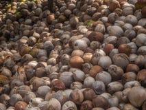 Viele Kokosn?sse liegen im Schatten von Palmen stockbild