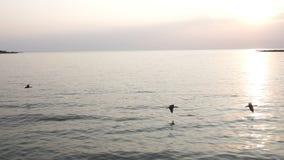 Viele Kormorane, die in Zeitlupe über dem Wasser bei Sonnenuntergang fliegen stock video footage