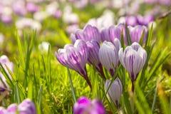 Viele Krokusblumen auf grüner Wiese stockbild