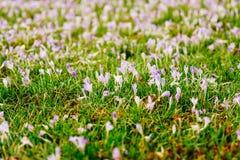 Viele Krokusse im Gras Ein Feld von Krokussen im grünen gra Stockfotografie