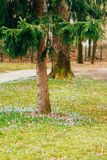Viele Krokusse im Gras unter dem Tannenbaum Ein Feld des Krokusses Lizenzfreies Stockfoto