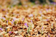 Viele Krokusse im trockenen Herbstlaub Ein Feld von Krokussen im yello Lizenzfreies Stockbild
