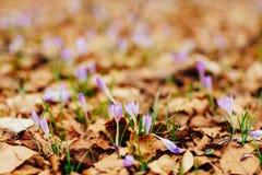 Viele Krokusse im trockenen Herbstlaub Ein Feld von Krokussen im yello Stockfotos