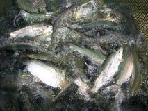 Viele Lachse im Fischernetz Lizenzfreies Stockbild