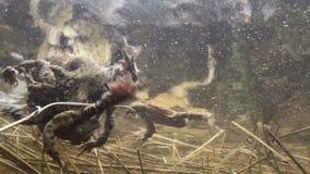 Viele männlichen Kröten, die unter Wasser über ein weiblich kämpfen stock footage