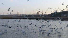 Viele Möven, Enten und Schwäne im See schwimmen und tauchen Schiff, Kräne im Fluss stock footage