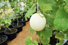 Viele Melonen in spärlichem Hourse Lizenzfreies Stockfoto
