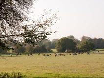 Viele Milchkühe, die auf dem Gebiet auf Horizont mit klarem Himmel weiden lassen Stockbild