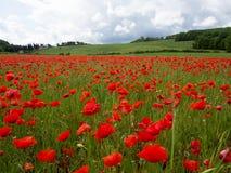 Viele Mohnblumen auf einem Gebiet ein bewölkten sommer Tag Lizenzfreie Stockfotos