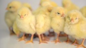 Viele neugeborenen Hühner stock video