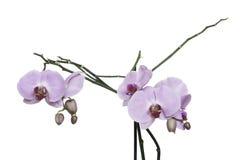 Viele Niederlassungen mit rosa Blumen Stockbilder