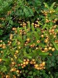 Viele orange Beeren Stockbilder