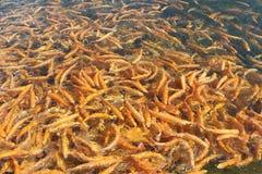 Viele orange sich hin- und herbewegenden Fische, Forellenlandwirtschaft Stockfoto