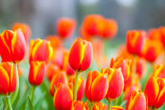 Viele orange u. gelbe Tulpen stockfoto
