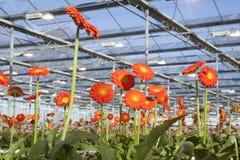 Viele Orangenblumen im niederländischen Gewächshaus Stockfoto