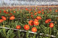 Viele Orangenblumen im niederländischen Gewächshaus Stockfotos