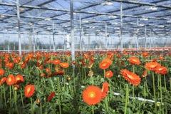Viele Orangenblumen im niederländischen Gewächshaus Lizenzfreies Stockbild