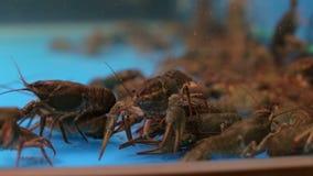 Viele Panzerkrebse im Aquarium im Trinkwasser stock video
