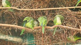 Viele Papageien Grüne Vögel stark grob mit einander Video mit Ton stock video footage