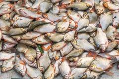 Viele Porträts der Fische Lizenzfreie Stockfotografie