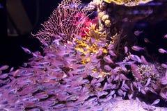 Viele purpurroten kleinen Fische, die unter Wasser schwimmen lizenzfreies stockbild