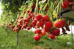 Viele reife Erdbeeren an einem ` wählen Ihren eigenen Bauernhof nahe Nairn aus stockfotografie