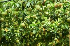 Viele rohes und frisches Maracuja im Garten Stockbild