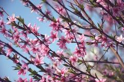 Viele rosa Blumen des Pfirsiches Stockbild