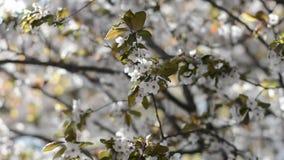 Viele rosa Kirschblumen auf den Bäumen an einem sonnigen Tag stock footage